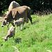 Kühe mit ihren Jungen, oder so ähnlich ;-)
