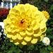 Eine gelbe Dahlie.