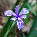 Eine schöne blaue Blume, könnte laut Internet die Douglas Iris sein