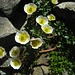 Delight all over the place (ranunculus glacialis).