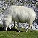 """Im Aufstieg zwischen Knorrhütte und Sonn-Alpin - Auf dem Platt tummeln sich etliche Schafe. Manche sind durchaus """"kontaktfreudig"""". Dieses frisst aber lieber noch ein bisschen """"Grün"""", bevor es hier demnächst wieder """"Weiß"""" wird."""