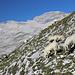 Im Aufstieg zwischen Knorrhütte und Sonn-Alpin - Immer wieder treffen wir auf Schafe.