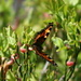 Small tortoiseshell (Aglais urticae = Kleiner Fuchs) on bilberry bush (Vaccinium myrtillus) No 1