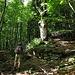 Auf dem Waldwanderweg hoch nach Tenc di Fuori: Immer wieder sehen wir riesige alte Bäume. Alle anderen Pflanzen scheinen maximal 40-50 Jahre alt zu sein, früher war hier wohl steiles Weideland.