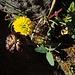 Braunklee Trifolium badium