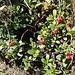 """<b>Mirtillo rosso (Vaccinium vitis-idaea)</b>. I leventinesi lo chiamano """"Gravaron"""" (plurale: """"Gravarói""""). La polpa è amarognola, non commestibile."""