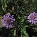 Witwenblumen