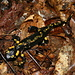 A fire salamander (Salamandra salamandra) I almost stepped on