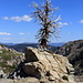 [http://www.hikr.org/gallery/photo1837349.html Another] dead Great Basin Bristlecone Pine