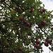 Keine Pflaumen, sondern einer der besten Äpfel, Berner Rosen.