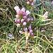 Gentiana ramosa Hegetschw.<br />Gentianaceae<br /><br />Genziana ramosa.<br />Gentiane rameuse.<br />Reichästiger Enzian.<br />
