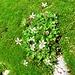 Saxifraga stellaris L. Saxifragaceae  Sassifraga stellata. Saxifrage étoilée. Sternblütiger Steinbrech.