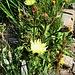 Hieracium pilosella L.<br />Asteraceae<br /><br />Sparviere pilosetto.<br />Epervière piloselle.<br />Langhaariges Habichtskraut.