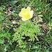 Pulsatilla alpina subsp. apifolia (Scop.) Nyman<br />Ranunculaceae<br /><br />Pulsatilla sulfurea.<br />Pulsatille soufrée.<br />Schwefel-Anemone.