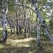 weiter unten dann durch Birkenwald