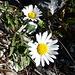 Liebesgrüsse: Schwarze Wucherblume auf der Kleinen Chemiflue