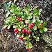 Preiselbeeren an der Suone (Vaccinium vitis-idaea)
