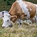 Glückliche Kühe ...