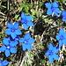 Knallblau Blume