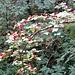 Zweigriffeliger Weissdorn (Crataegus laevigata)