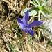 Gefranster Enzian (Gentiana ciliata)
