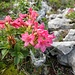 Bewimperte Alpenrose (Rhododendron hirsutum)