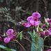 Taubenschwänzchen (Macroglossum stellatarum) an Drüsigem Springkraut (Impatiens glandulifera)