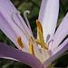 Blütenstaub der Herbstzeitlosen / Polline del colchico (Colchicum autumnale)