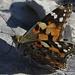 Distelfalter (Vanessa cardui). Leider sieht man jetzt nur noch sehr wenige Schmetterlinge. / Purtroppo adesso si vedono solo più poche farfalle.