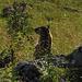Murmeltier im Gegenlicht / Una marmotta in controluce
