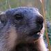 Die jungen Murmeltiere haben noch strahlend weiße Zähne / Le giovani marmotte hanno i denti ancora bianchi brillanti.