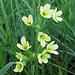 Schlüsselblume / Primula <br />Hoffnung auf den Frühling im September:-) / La speranza alla primavera in settembre :-)