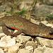 Hallo Molchi! Pass gut auf Dich auf, wenn du auf dem Weg sitzt! / Ciao tritone (Ichthyosaura alpestris)! Fai attenzione a te se ti sedi sul sentiero!