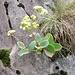 Sedum telephium subsp. maximum (L.) Kirschl.<br />Crassulaceae<br /><br />Sedo maggiore.<br />Grand orpin.<br />Gewoenliches Riesen-Fettktaut.