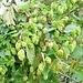 Humulus lupulus L.<br />Cannabaceae (incl. Moraceae p.p.)<br /><br />Luppolo comune.<br />Houblon.<br />Hopfen.<br />
