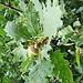 Quercus robur L.<br />Fagaceae<br /><br />Quercia comune.<br />Chéne pédoncoulé.<br />Stiel-Eiche.