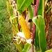 Mais am Wanderweg von Pfäffikon ZH nach Kempten