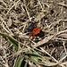 eine kleine [http://www.natur-lexikon.com/Texte/MZ/001/00098-Roehrenspinne/MZ00098-Roehrenspinne.html Spinne] bringt ebenfalls Farbe in unsere Bergwanderung