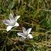 weitere Blumenschönheiten (Campanula)