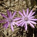 herrliche Farbtupfer im staubtrockenen Gelände 1 (Einjährige Strohblume?)
