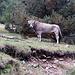 Unterwegs bei La Molinassa - Auch einige Kühe schlendern durch das Wald-und-Wiesen-Gelände. Foto vom 11.09.2015.