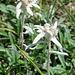 Na, da ist es doch: Leontopodium nivale, auch bekannt als Edelweiss.