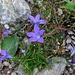 diese häufig auftretenden Blumen halte ich für die Bertolas oder die Ausgeschnittene Glockenblume ...