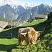 Begegnung auf Alp de Bec