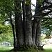 Diese Baumgruppierung ist im Jura oft zu sehen