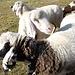 <b>Tiroler Bergschaf, la razza ovina più diffusa in Austria.</b>