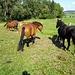 Lucky Horses III