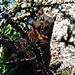 Es ist ein braunes Eichhörnchen, kein schwarzes
