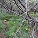... und massivem Legföhren-Unterholz, so dass bald kein Durchkommen mehr ist