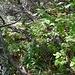"""der zwar ausgeschilderte und auf der Karte eingezeichnete Weg hinauf zur Bergstation verliert sich im dichten """"Dschungel"""" ..."""